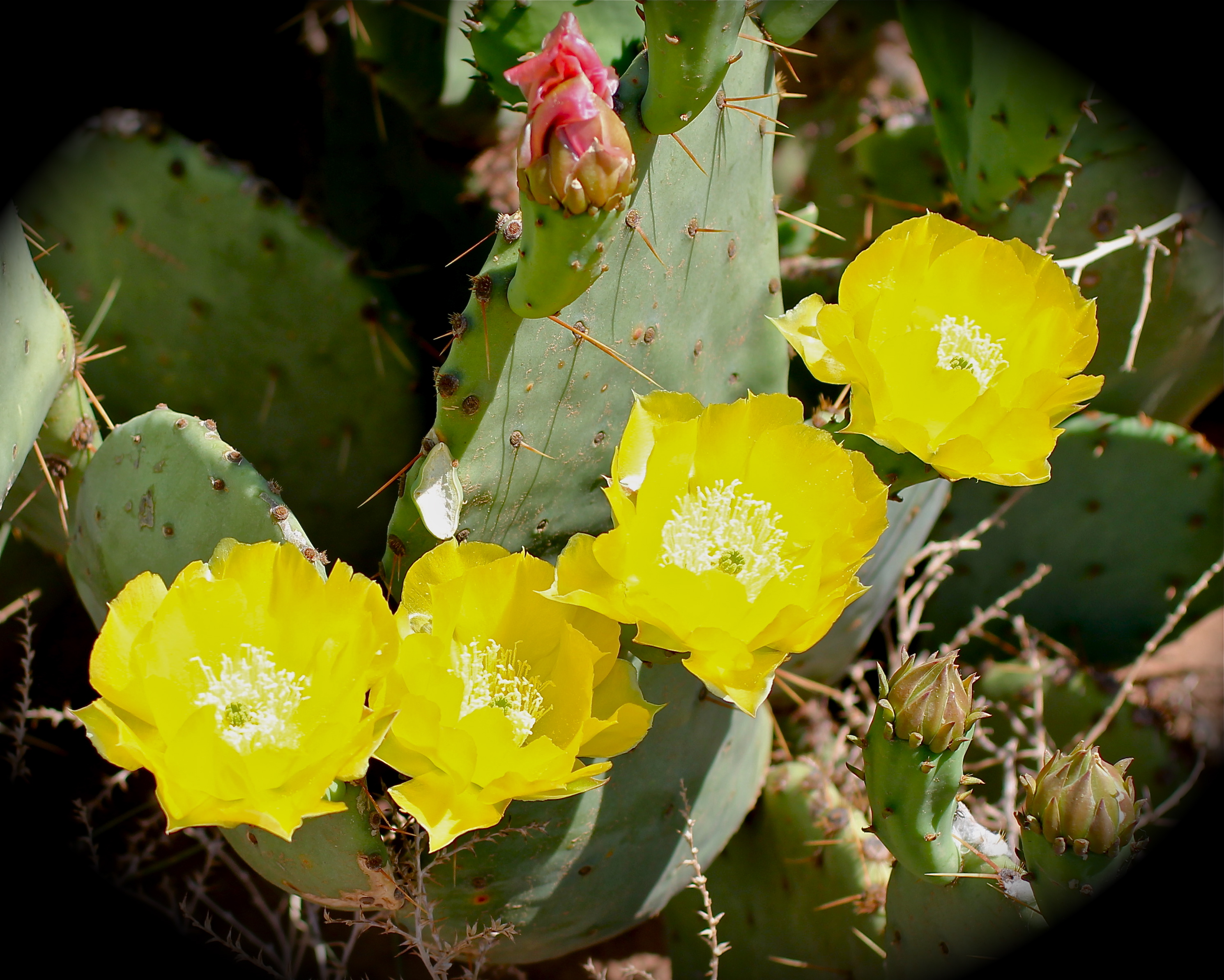 Prickly pear the yellow rose of west texas why i love west texas as i was coming home from morton texas yesterday i notice that some of the prickly pears cactus were starting to bloom you might not think that would catch mightylinksfo