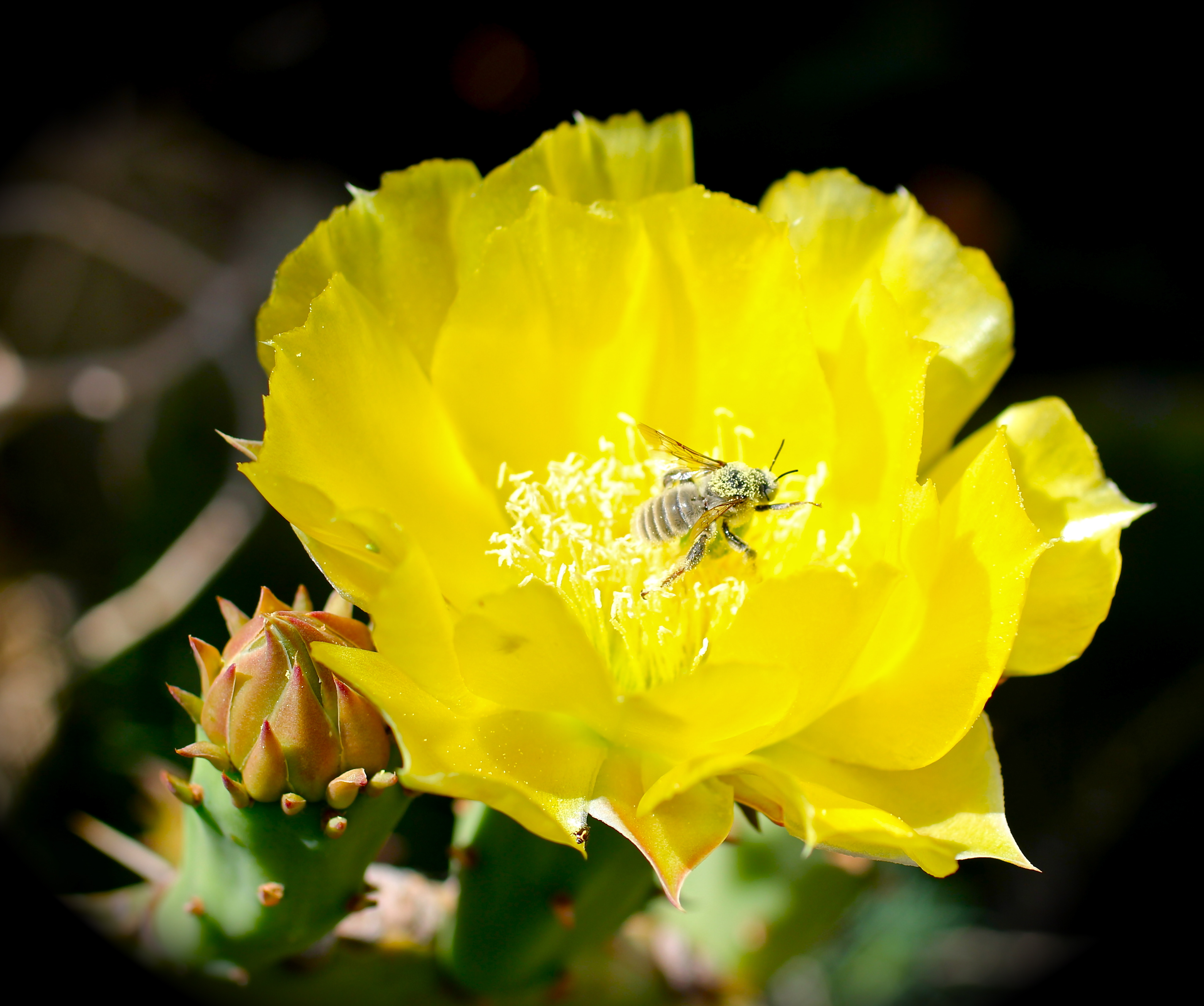 Prickly Pear The Yellow Rose Of West Texas Why I Love West Texas